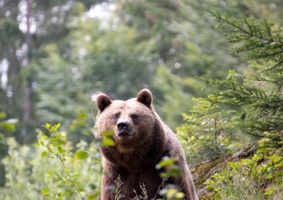 Braubären Nationalpark Bayerischer Wald