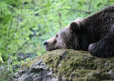 Braunbär Frühling Bayerischer Wald